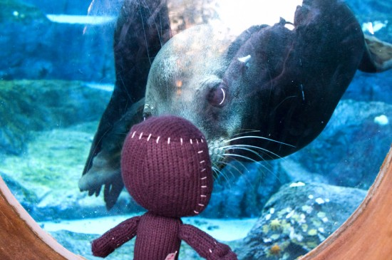 This image is real. No Photoshop compositing. The Sea Lion really did try and have a conversation with SackBoy. I almost didn't fire the shots.